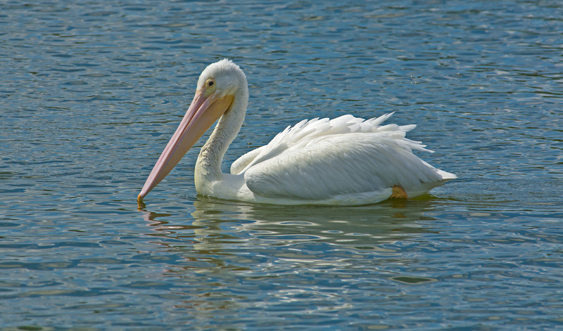 • White Pelican<br /> • ISO 250, f-11 Speed, 1/1600 sec<br /> • LR5 and PS CC<br /> • Cropped size - 5749 X 3380