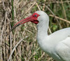 • White Ibis<br /> • ISO 250, f-8.0, 1/2000 sec<br /> • LR 5<br /> • Cropped size - 2460 X 2162