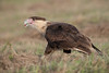 The juvenile Caracara is finally finished eating the Moorhen
