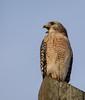 Red-shoulderd Hawk told me enough photos already