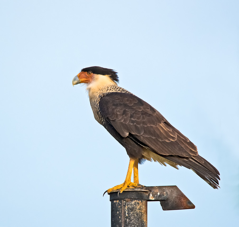 An adult Crested Caracara sitting on top of exhaust pipe of a truck.
