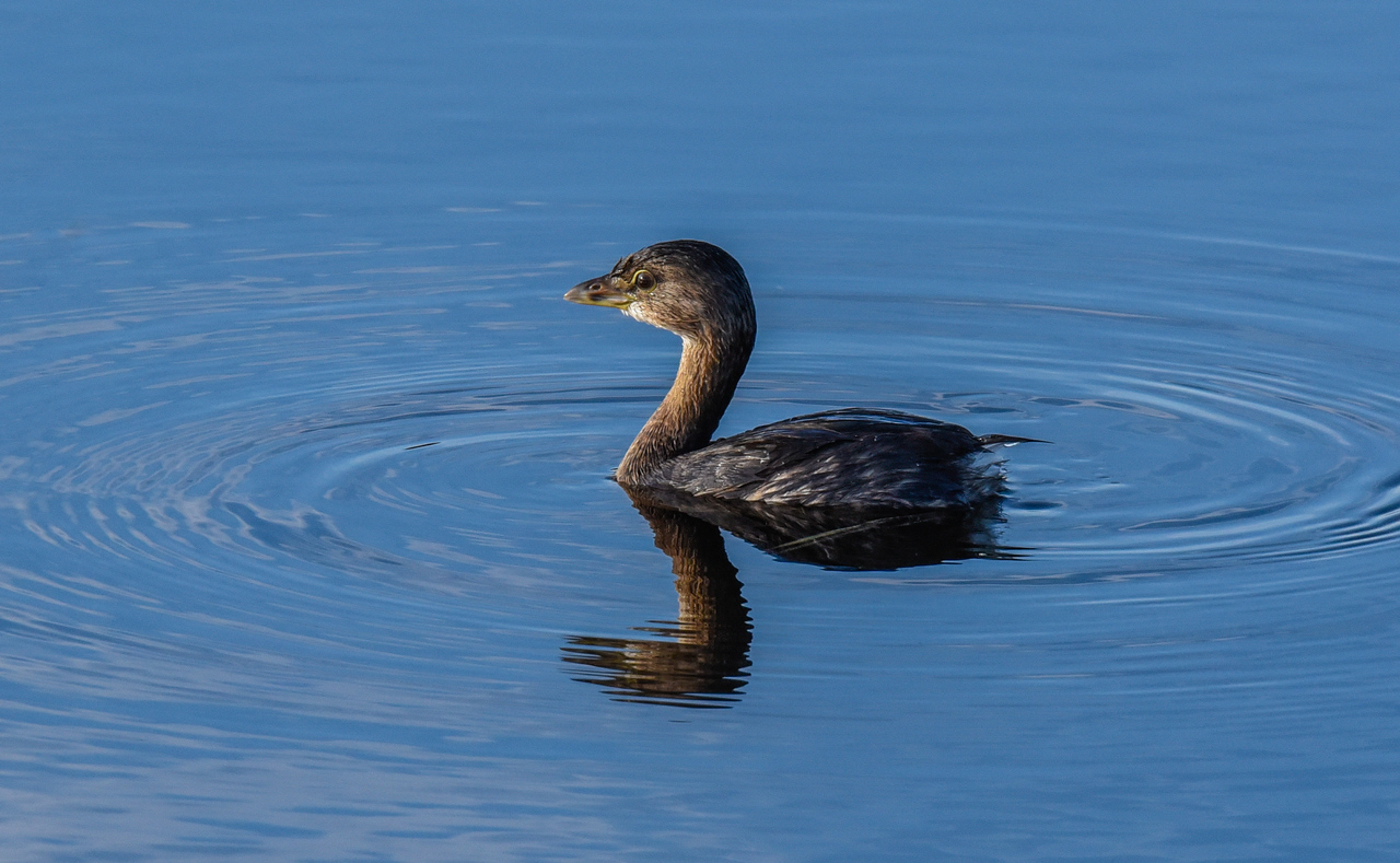 • Pied billed Grebe with its reflection<br /> • Cropped into 26% of the original size of this photo