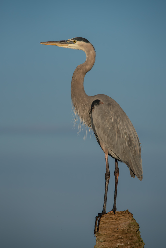 • Location - Viera Wetlands<br /> • Great Blue Heron