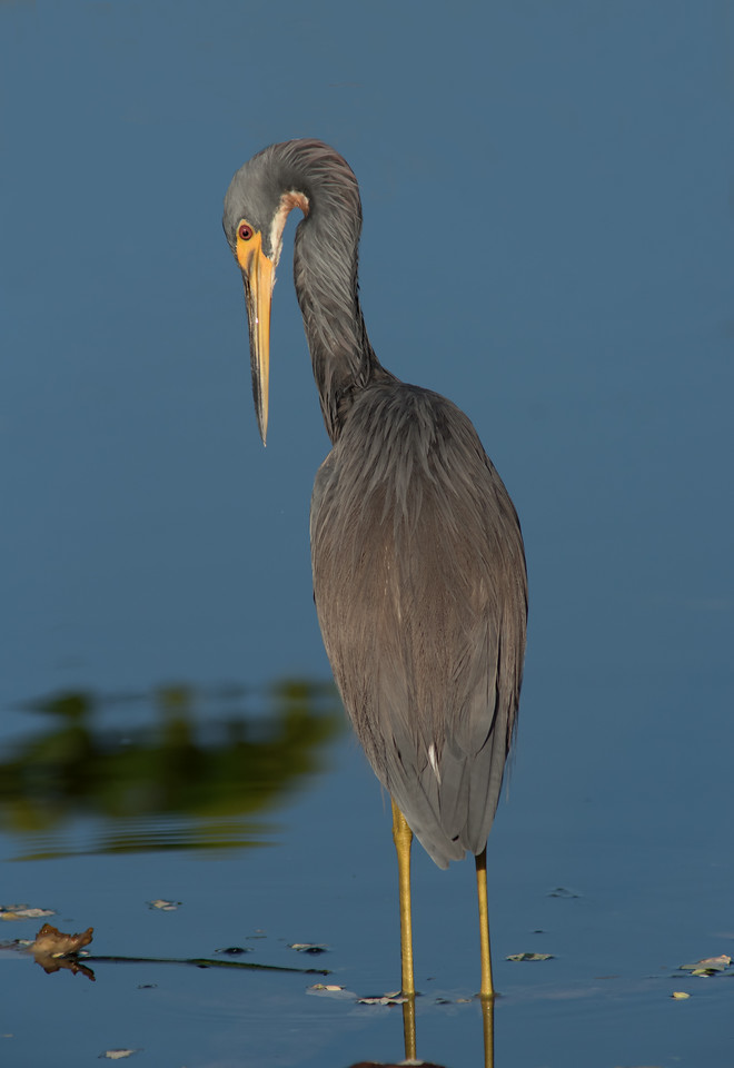 Tri-colored Heron - This is the first I saw a Heron bend its neck like this.