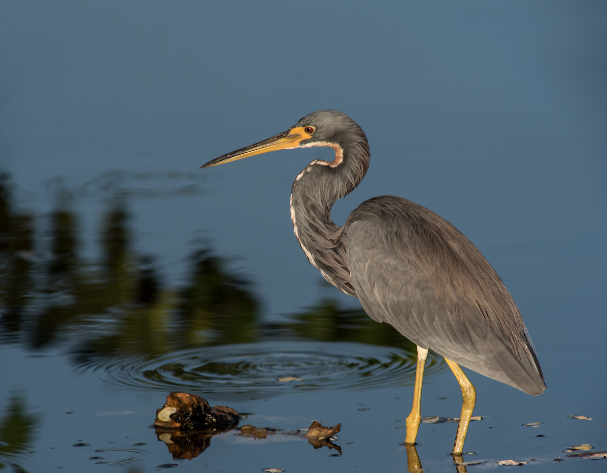 Tri-colored Heron looking for something to catch and eat