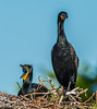 Double Crested Cormorant - How about getting me something to eat?