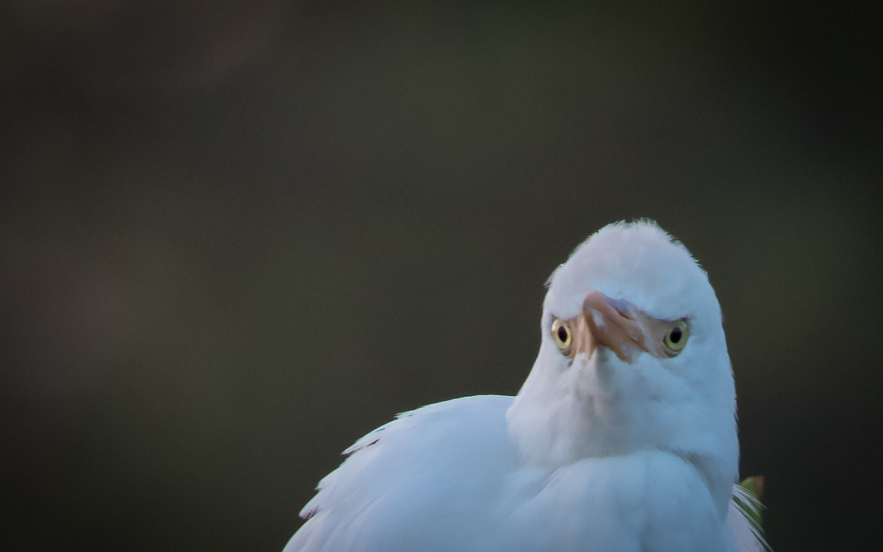 Cattle Egret - I got my eyes on you