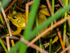 This the first time I was able to capture a image of a Bullfrog after I heard it.