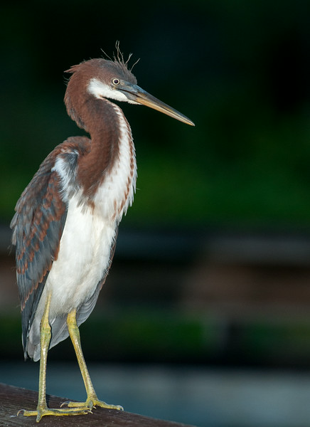 Bad hair day for a Tri-colored Heron