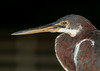 Close-up of a tricolored Heron