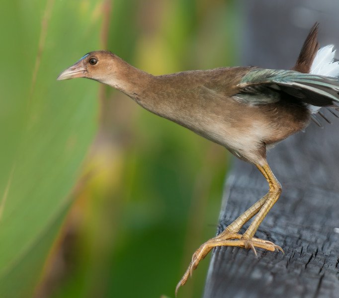 Immature Purple Gallinule ready for take-off