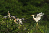 Cattle Egret coming in for a landing at its nesting area