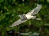 Tricolored Heron in flight.