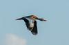 Black -bellied Whistling Duck in flight