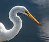 That's unbelievable the Great Egret went after such a small fish