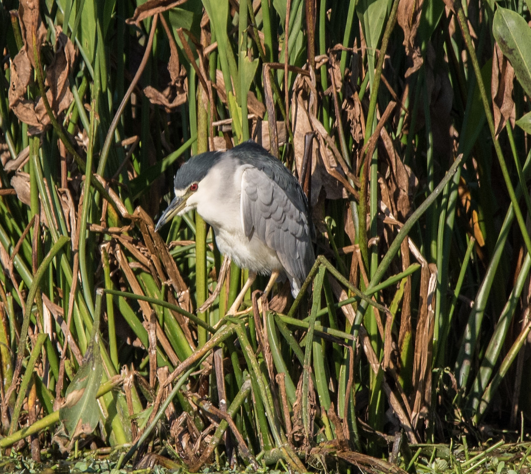 • Location - Green cay<br /> • Black crowned Night Heron