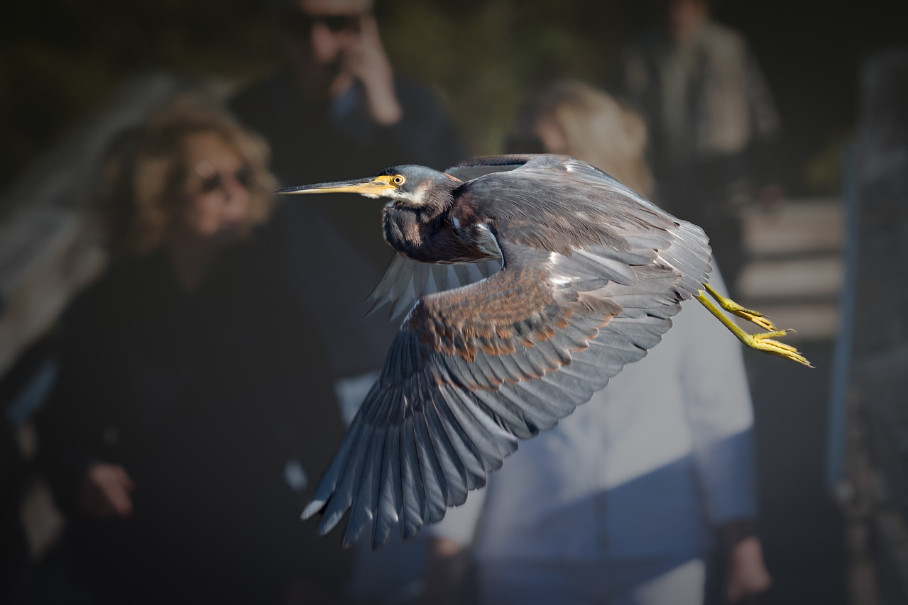 • Location - Green Cay<br /> • Tri-colored Heron just taking off