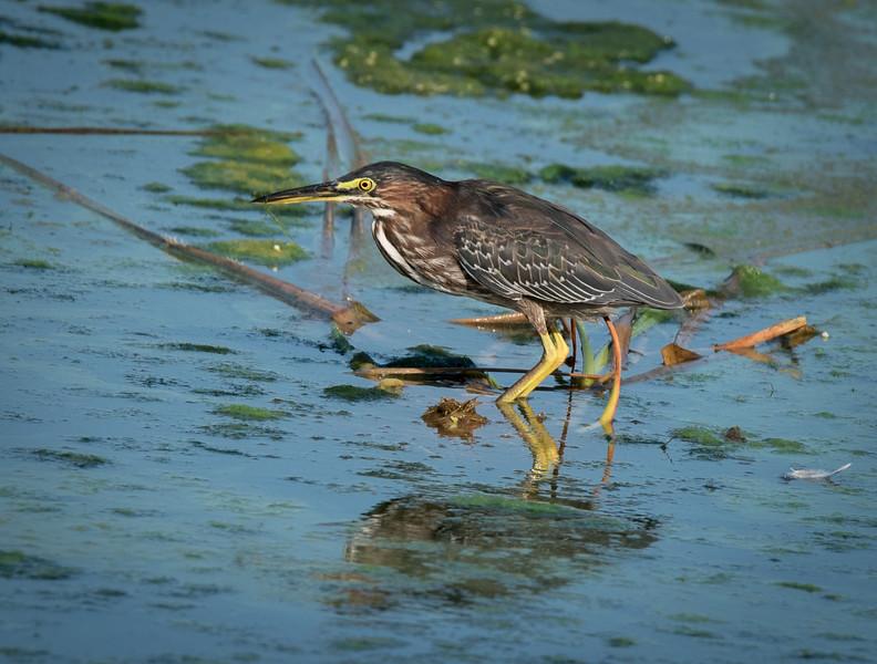 • Location - Dan Click Ponds<br /> • Green Heron