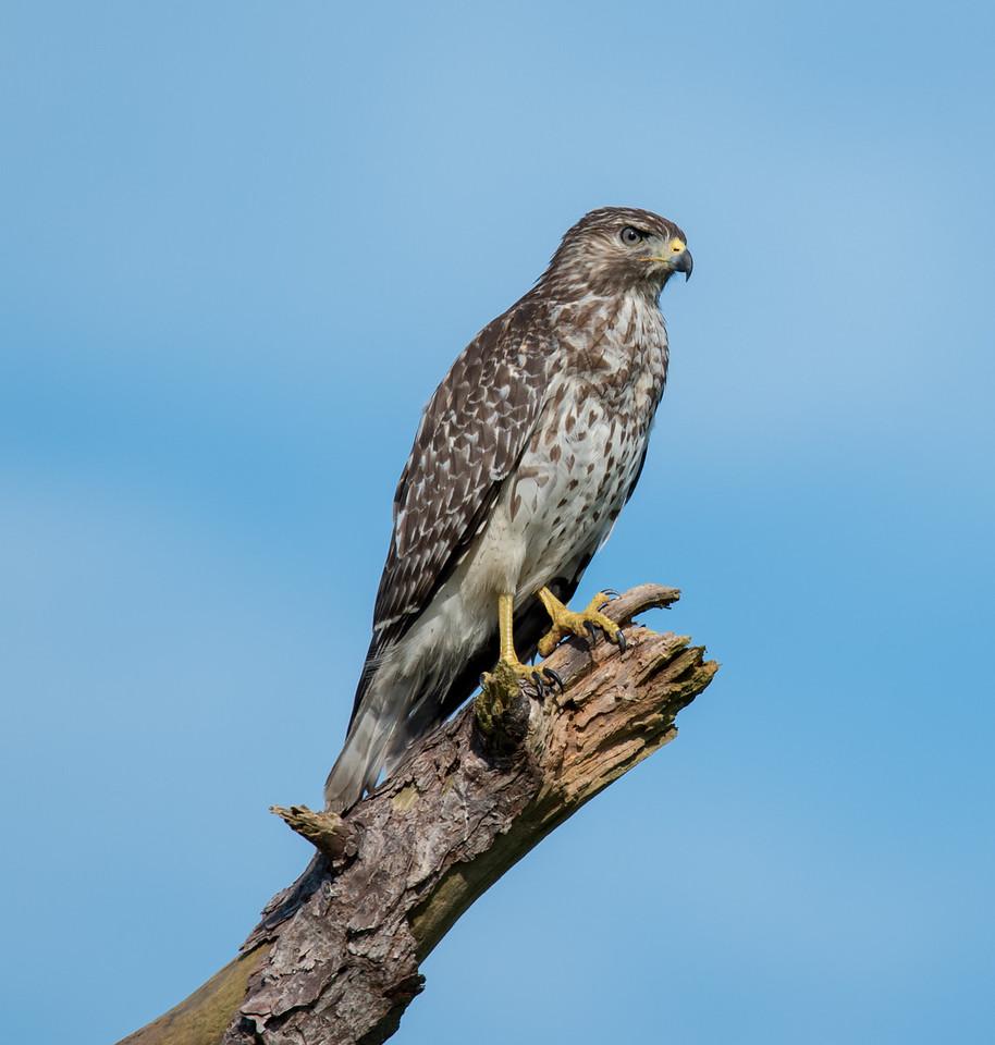• Location- Joe Overstreet RD<br /> • Juvenile Red-shouldered Hawk