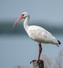 • Location - Public Pier in Kenansville<br /> • White Ibis