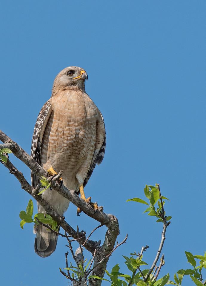 • Location - Public Pier in Kenansville<br /> • Red-Shoulder Hawk