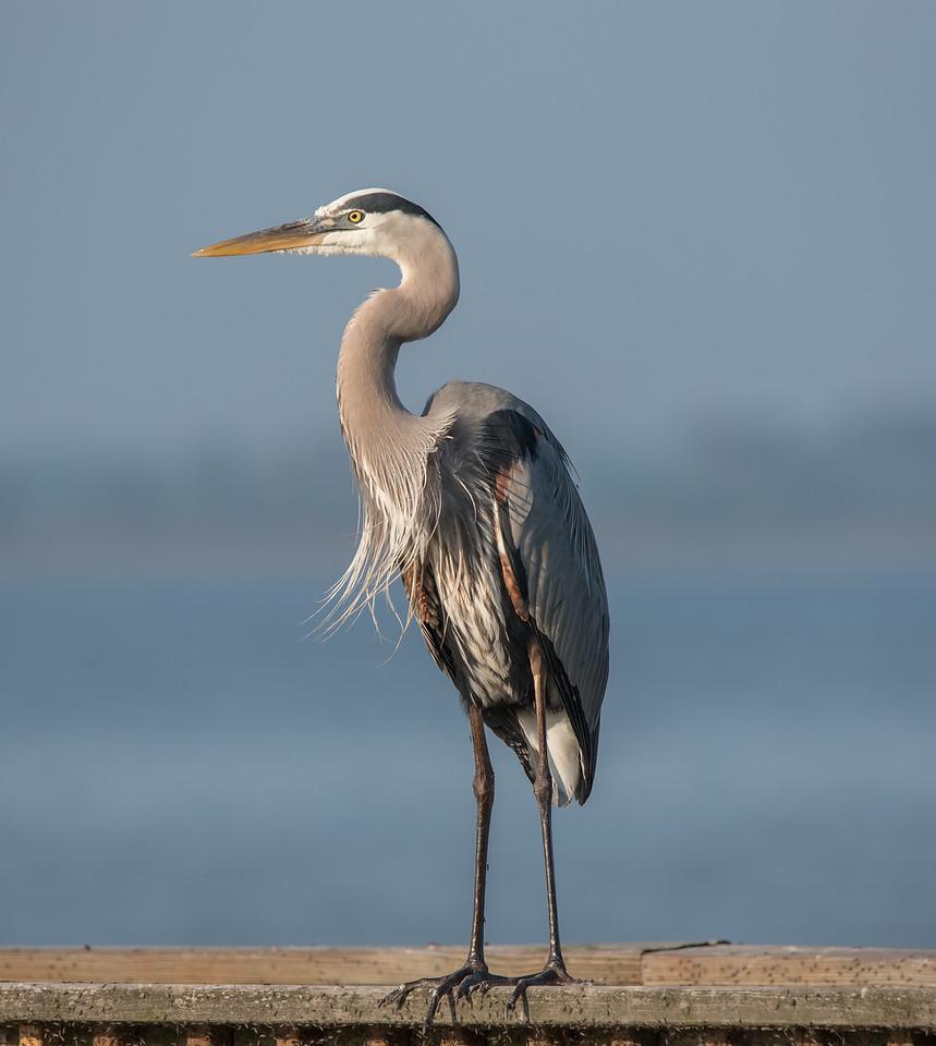 • Location - Public Pier in Kenansville<br /> •Great Blue Heron