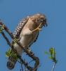 • Location - Public Pier in Kenansville<br /> • Red-Shoulder Hawk scratching itself
