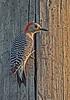 • Location - Public Pier in Kenansville<br /> • Red-bellied Woodpecker
