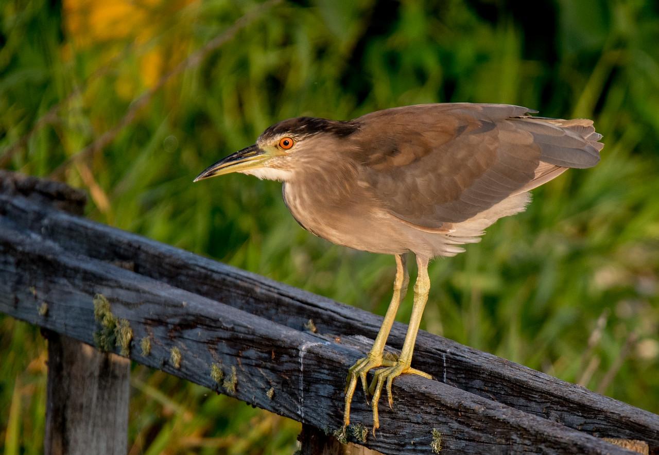 Immature Black-crowned Night Heron