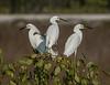 Snowy Egret Triplets