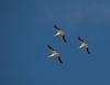 Trio of American White Pelican in flight