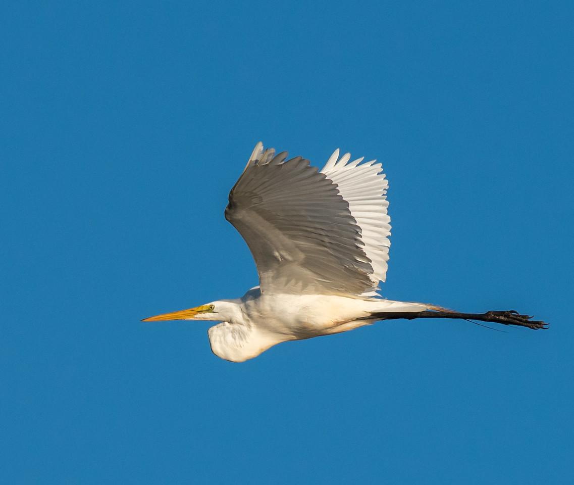 •Location - Stick Marsh<br /> • Great Egret in flight
