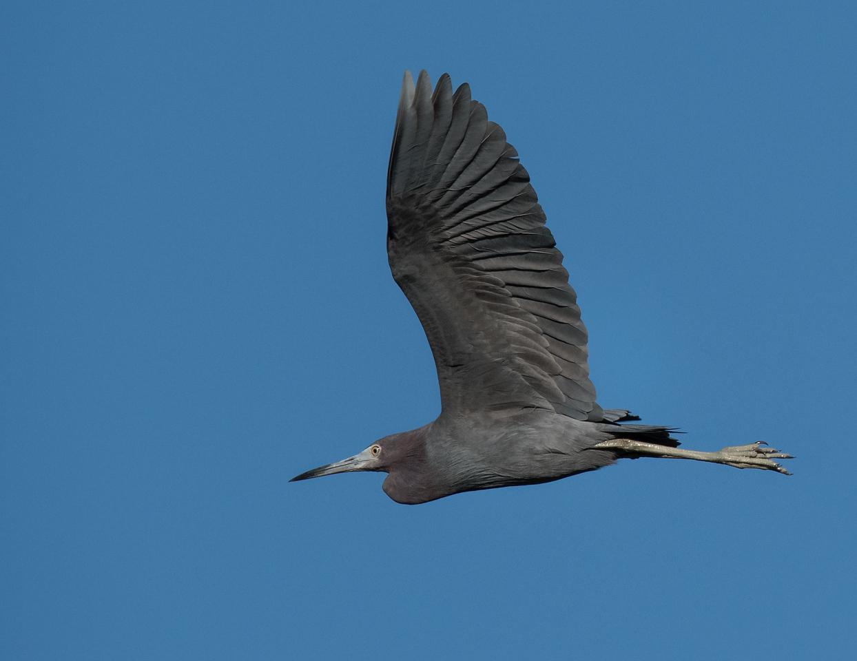 • Location - Merritt Island National Wildlife Refuge<br /> • Reddish Egret in flight