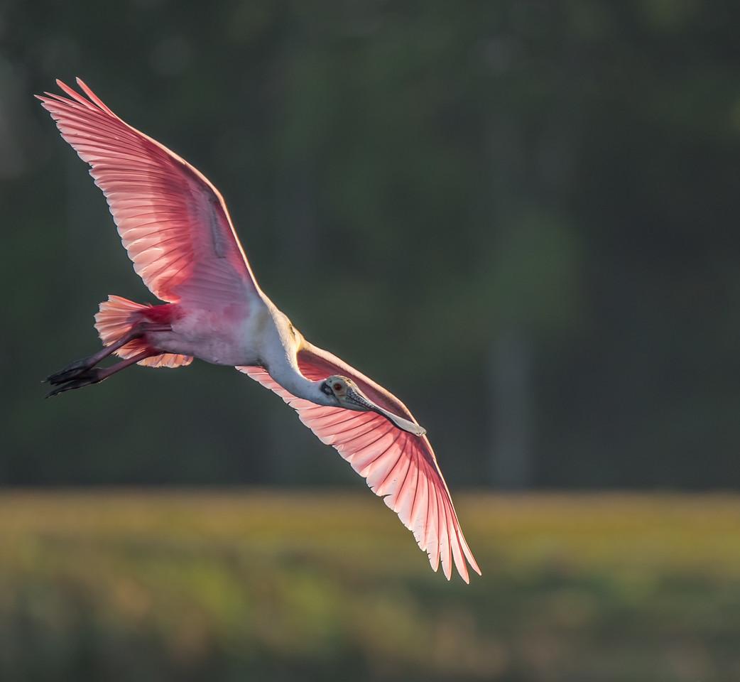 •Location - Stick Marsh<br /> • Back-lit Roseate Spoonbill in flight