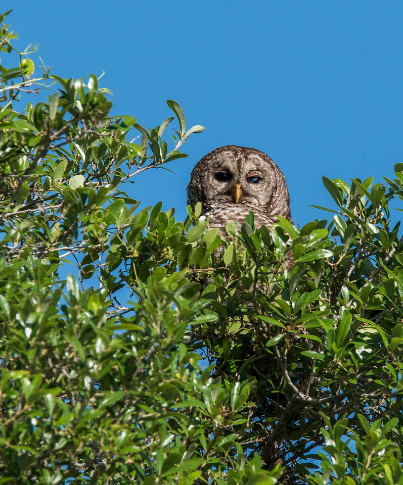 •Location - Kenansville<br /> • Barred Owl