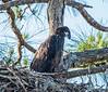 •Location - Kenansville<br /> • Juvenile Bald Eagle
