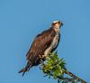 •Location - Kenansville<br /> • Osprey