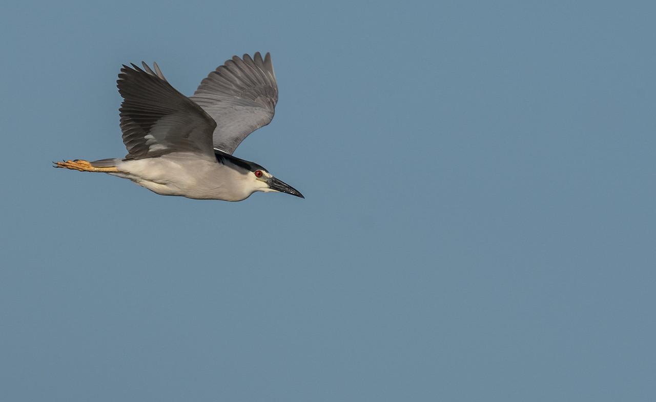 • Location - Stick Marsh<br /> • Black-crowned Night Heron in flight
