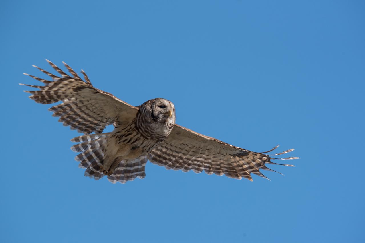 •Location - Kenansville<br /> • Barred Owl in flight