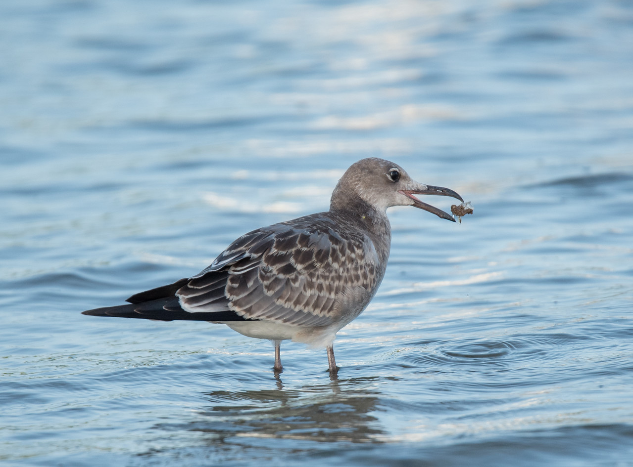 • Location - Sebastian Inlet<br /> • Juvenile Laughing Gull with its catch