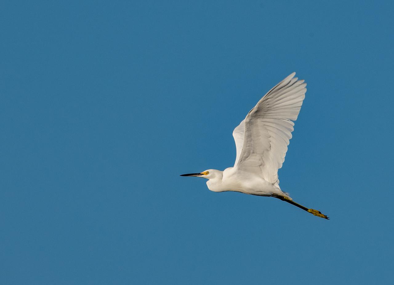 • Location - Sebastian Inlet<br /> • Snowy Egret