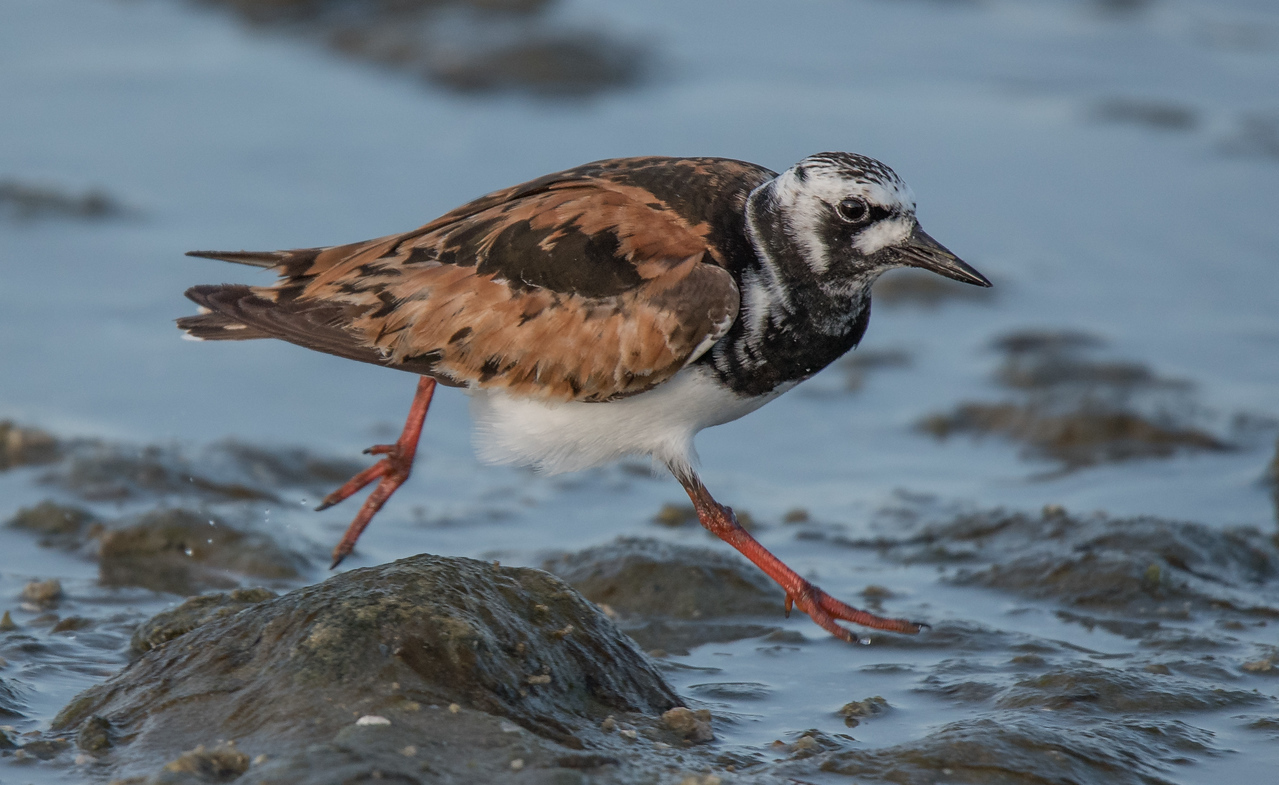 • Location - Sebastian Inlet<br /> • Breeding Ruddy Turnstone