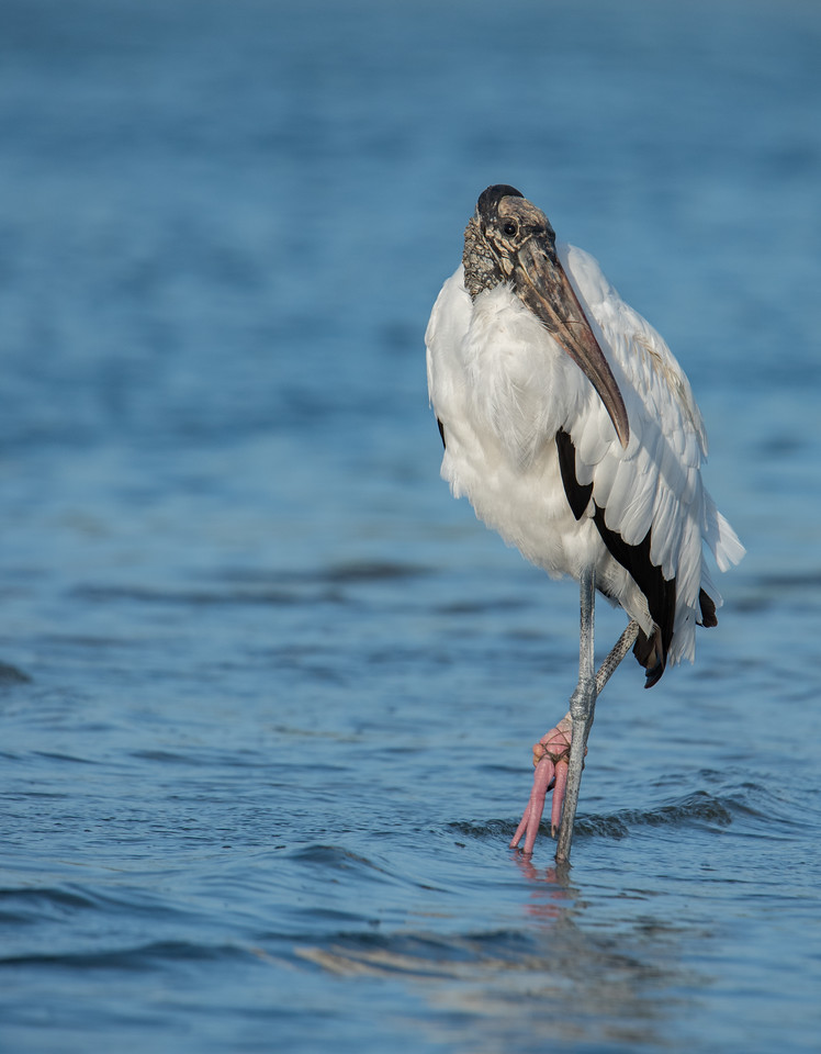 • Location - Sebastian Inlet<br /> • Wood Stork
