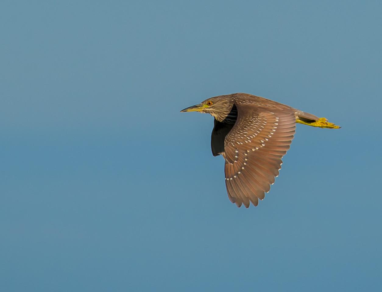 Immature Black-crown Night Heron in flight