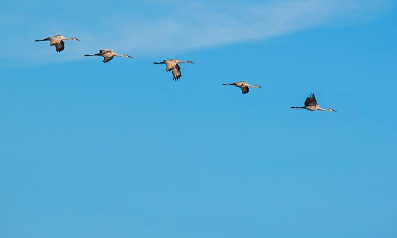 Five Sandhill Cranes in flight