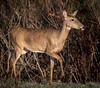 White Tail Female Florida Deer