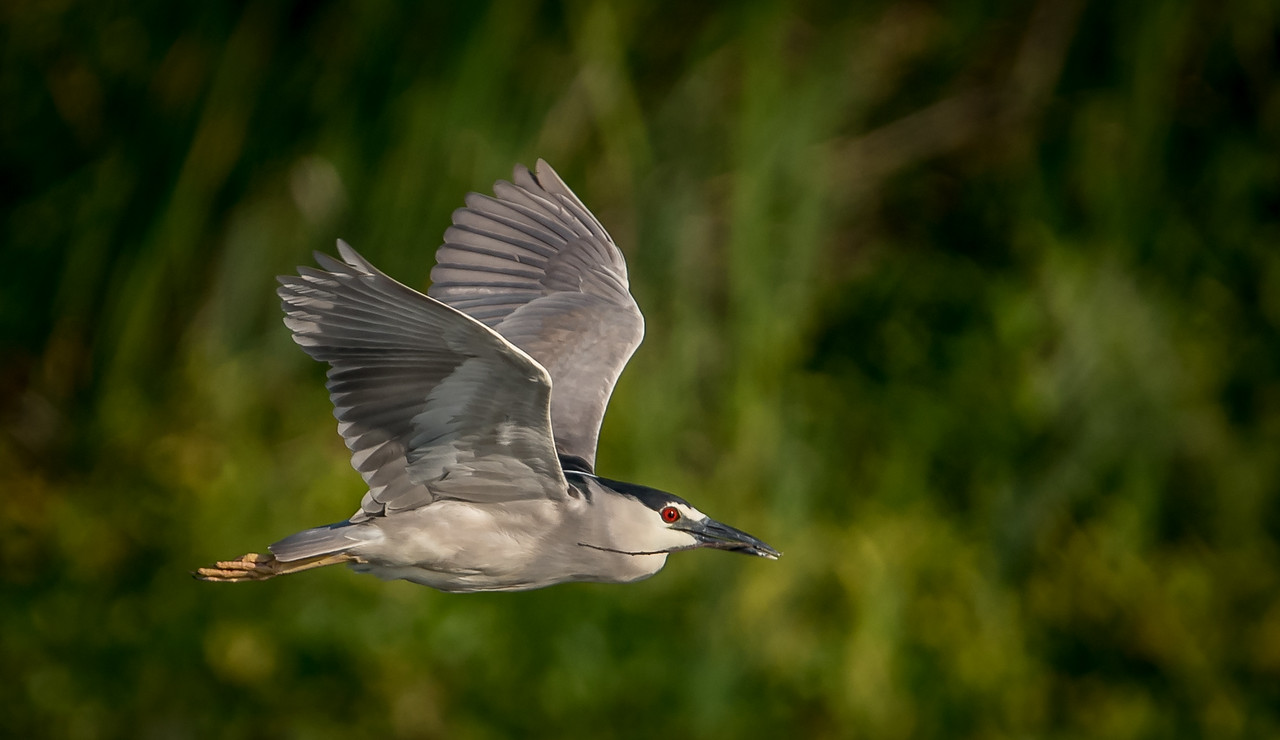 Black-crowned Night-Heron In Flight With Nesting Material