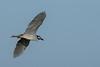 Yellow-crowned Night-Heron In Flight