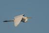 Great White Egret Breeding Adult In Flight