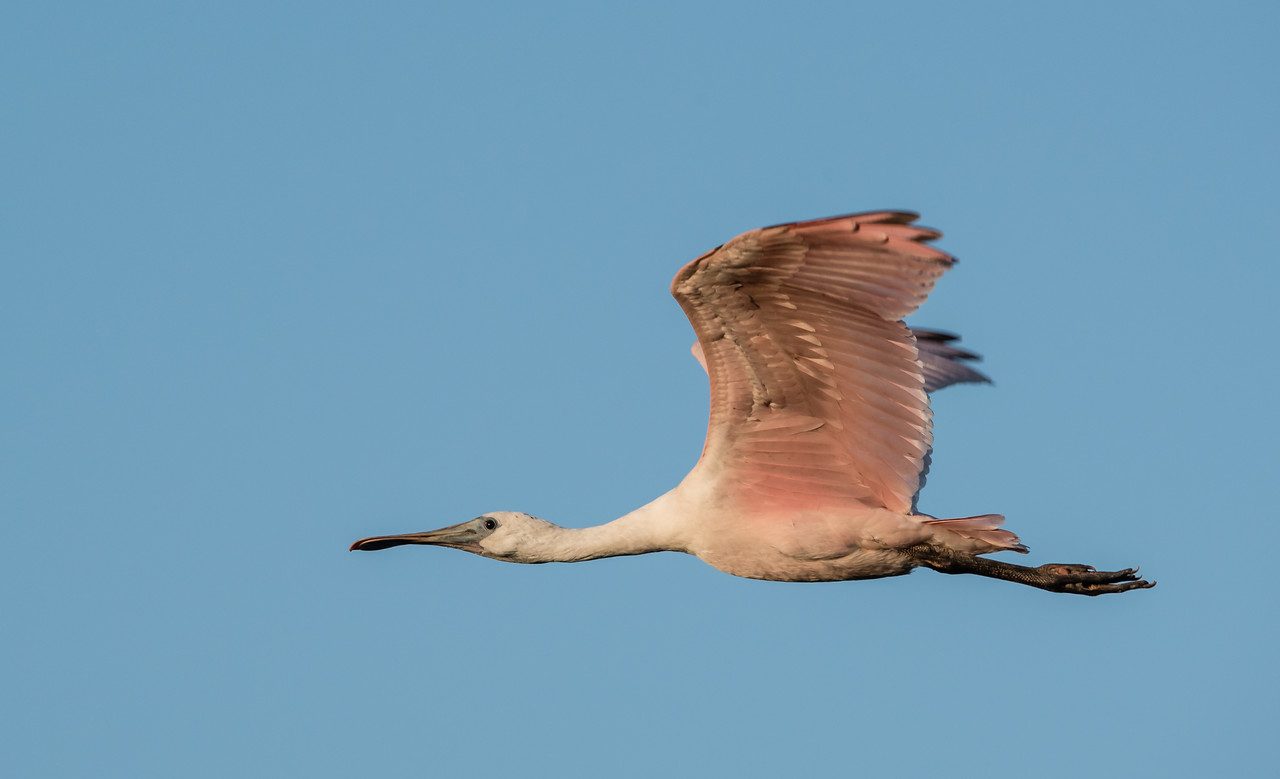 • Location - Stick Marsh<br /> • Immature Roseate Spoonbill in flight